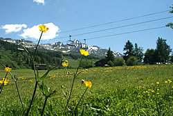 Image of yellow alpine flowers in a meadow with mountains behind